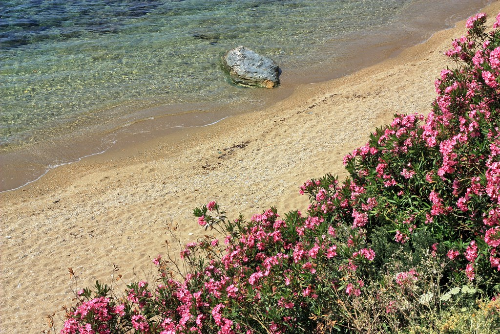 Beach and oleanders