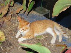 Ginger kitten at Sotiris