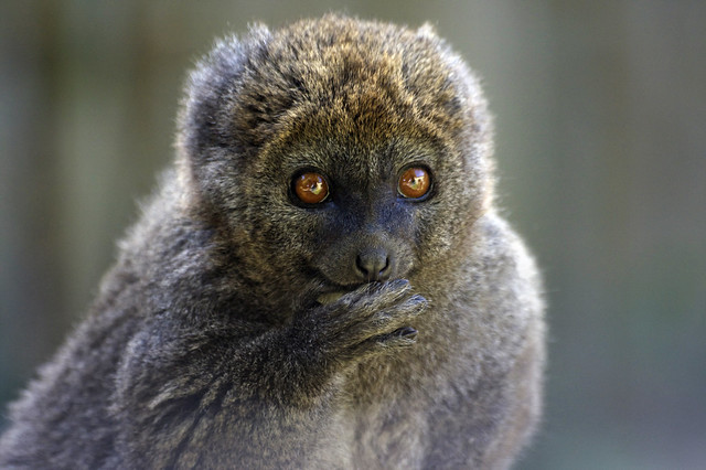 Ooops, nearly forgot Furry Friday - Alaotran gentle lemur