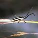 longhorn beetle, Tapanatapec Foothills, Oaxaca, Mexico, 2004_12_21 055.jpg por maholyoak