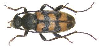 Pachytodes erratica (Dalm., 1817)