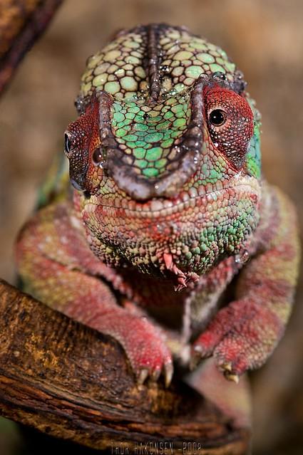 Furcifer pardalis - Panther Chameleon