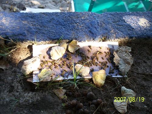 greece wasps goldenbeach wasptrap thassos thasos sotiris chrisiammoudia sotiristaverna