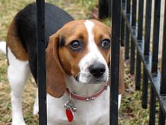 dog breed(1.0), animal(1.0), hound(1.0), harrier(1.0), dog(1.0), treeing walker coonhound(1.0), english foxhound(1.0), american foxhound(1.0), pet(1.0), pocket beagle(1.0), basset artã©sien normand(1.0), finnish hound(1.0), hamiltonstã¶vare(1.0), estonian hound(1.0), beagle-harrier(1.0), english coonhound(1.0), drever(1.0), serbian tricolour hound(1.0), carnivoran(1.0), beagle(1.0), coonhound(1.0),