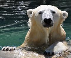 polar bear(0.0), brown bear(0.0), animal(1.0), polar bear(1.0), mammal(1.0), fauna(1.0), bear(1.0), wildlife(1.0),