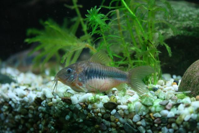corydoras aeneus - bronze catfish