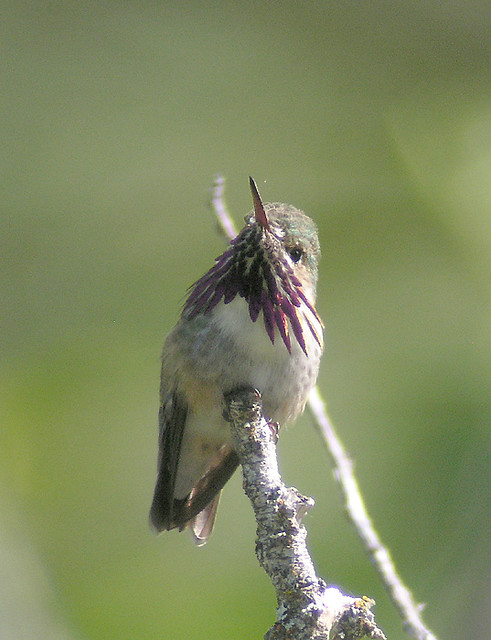 Audubon Hummingbird Food Recipe Nutrition