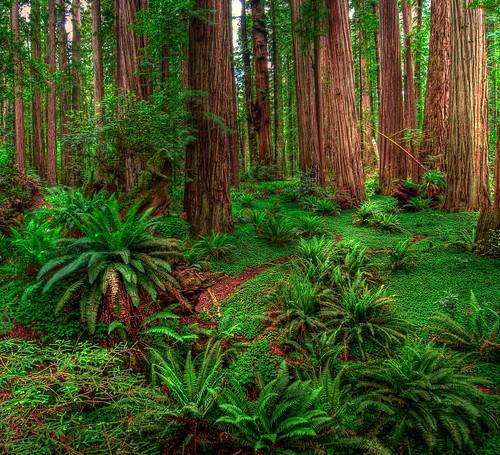 california red plants usa green pano panoramic redwoods stoutgrove hdr highdynamicrange photofridaycom fav10 michaelholden michaelholdencom
