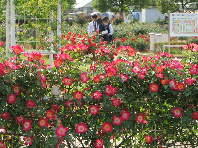 伊奈町 記念公園 バラ園 | Flickr - Photo Sharing!
