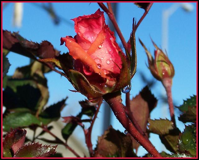 n roses