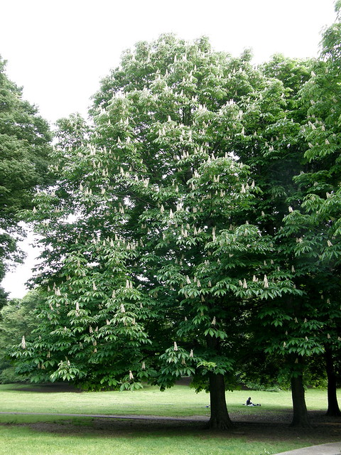 Photo:#8709 horse chestnut (セイヨウトチノキ) in bloom By Nemo's great uncle