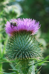 annual plant, flower, thistle, plant, macro photography, flora, silybum, artichoke thistle, close-up, petal,