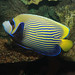 Emperor Angelfish - Photo (c) Brian Gratwicke, some rights reserved (CC BY)
