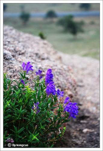内蒙古植物照片-黄岑,唇形科黄岑属