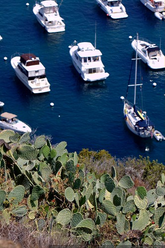 prickly pear cacti and boats in catalina harbor    MG 2142