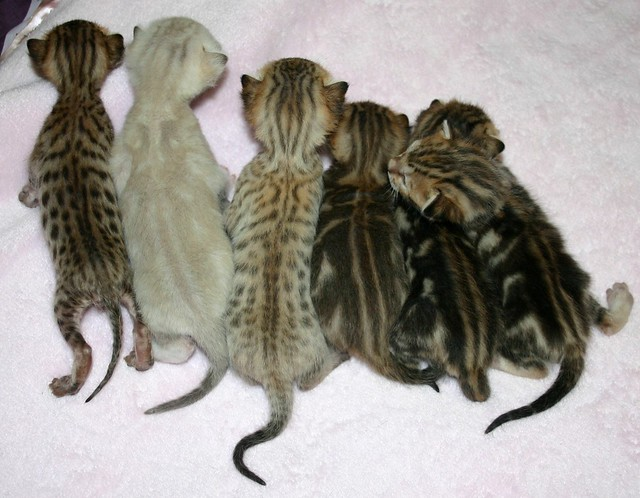 Bengal Litter With Frosted Snow Frosted Spotted Amp Frosted
