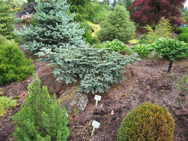 abies procera 39 glauca prostrata 39 flickr photo sharing. Black Bedroom Furniture Sets. Home Design Ideas