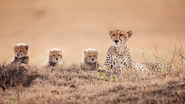 Cubs - The Cat Family Inspiring Photography