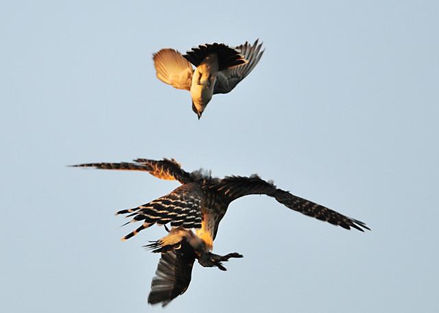 Falconiformes. sub Falconidae - sub fam Falconinae - gênero Falco 3991826778_42fbce39c3_z