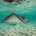 Southern Stingray - Grand Turk, Turks and Caicos