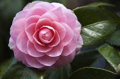 camellia, rosa 㗠centifolia, floribunda, flower, plant, macro photography, flora, camellia japonica, theaceae, pink, petal,