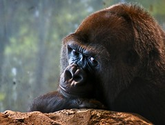orangutan(0.0), common chimpanzee(0.0), chimpanzee(1.0), animal(1.0), western gorilla(1.0), zoo(1.0), mammal(1.0), great ape(1.0), gorilla(1.0), fauna(1.0), ape(1.0), wildlife(1.0),