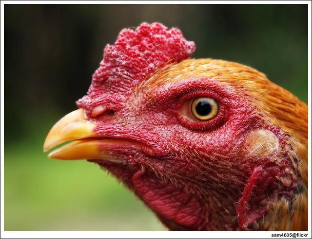 Rooster - ayam sabung