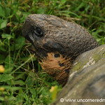 Snacking Giant Tortoise - Galapagos Islands