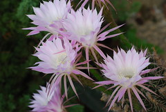 moonlight cactus(0.0), ice plant(0.0), flower(1.0), epiphyllum(1.0), plant(1.0), karkalla(1.0), flora(1.0), cactus family(1.0), petal(1.0),