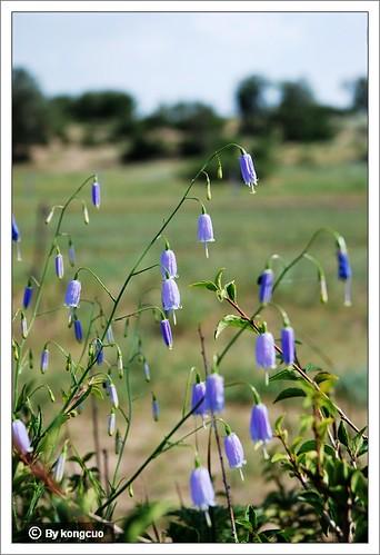 内蒙古植物照片-桔梗科沙参属长柱沙参