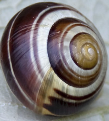 clam(0.0), schnecken(0.0), escargot(0.0), animal(1.0), sea snail(1.0), molluscs(1.0), snail(1.0), brown(1.0), seashell(1.0), nautilida(1.0),