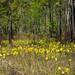 Sarracenia flava (Yellow pitcher plant) by jimf_29605