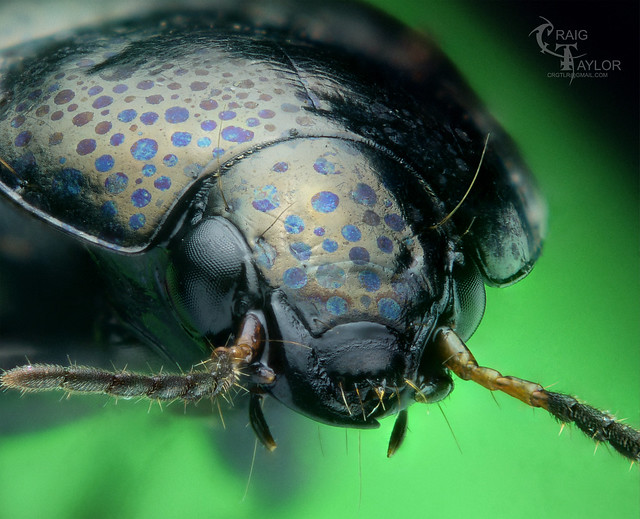 Spotted ground beetle