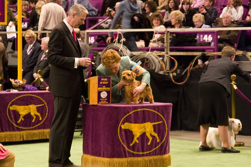 Norfolk Terrier - More judging