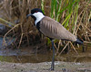 Spur-winged plover by António Guerra