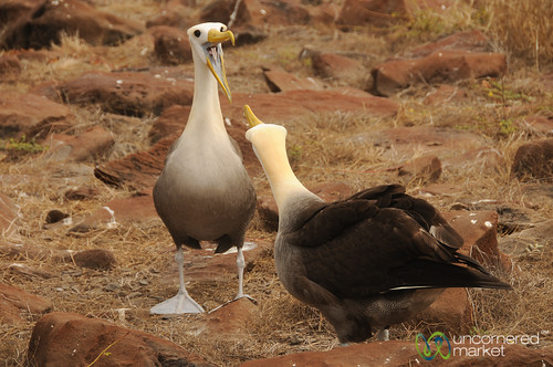 Albatross Dance, Galapagos Islands