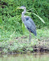 egret(0.0), wetland(1.0), animal(1.0), fauna(1.0), little blue heron(1.0), heron(1.0), pelecaniformes(1.0), beak(1.0), bird(1.0), wildlife(1.0),