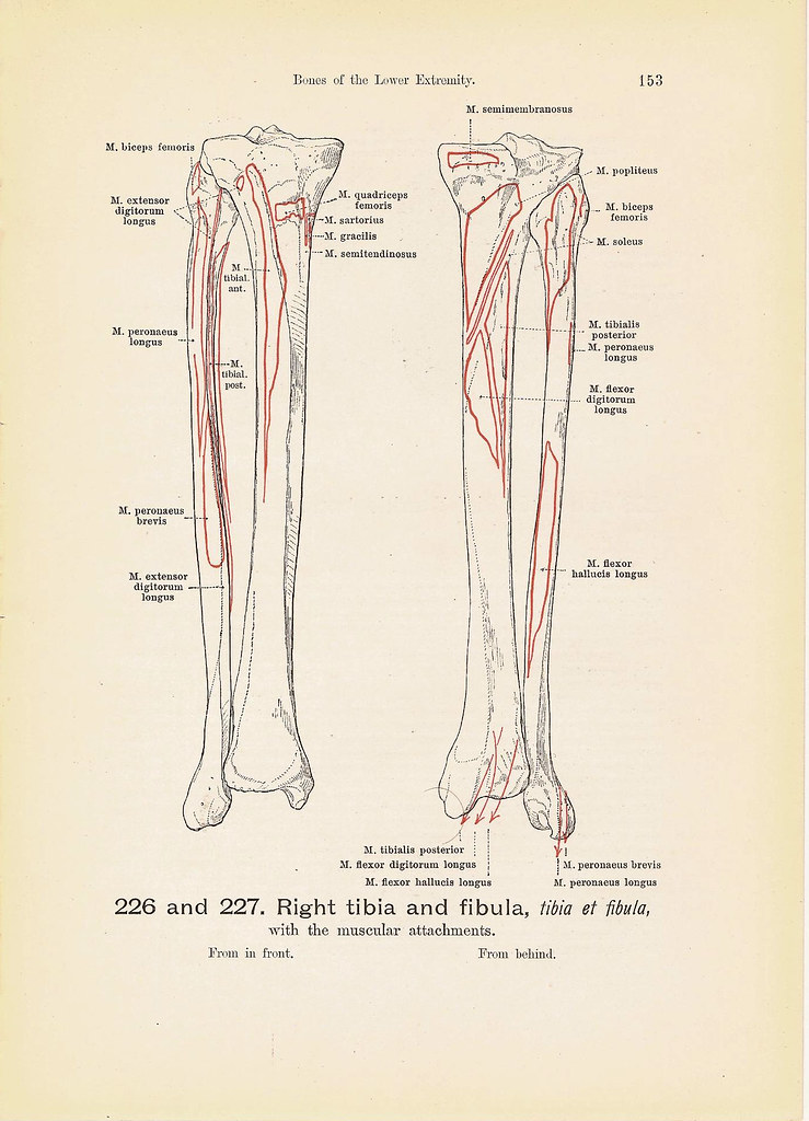 Right Tibia And Fibula And Right Ankle Bone Anatomy Black Flickr