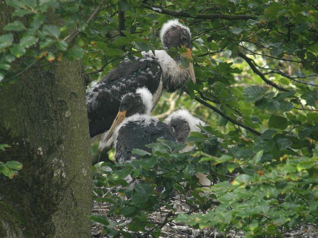 Junge Scharzstörche im Nest, Ostbelgien