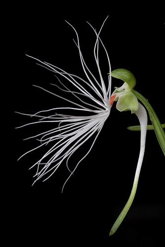 orchid habenaria habenariamedusa