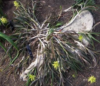 Aloe pendens 5774743078_b2a50262ba_o