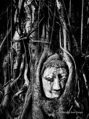Buddha Head In Bodhi Tree Roots