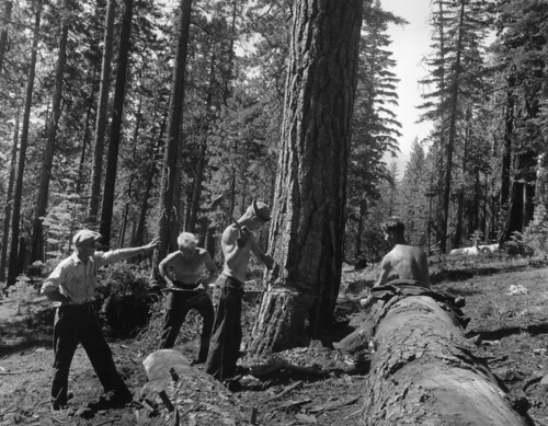 A foreman is teaching CCC boys how to fell an insect infested tree in the Lassen National Forest, California.