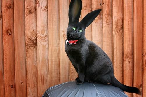 Rare Cabbit -  cat rabbit by @Doug88888