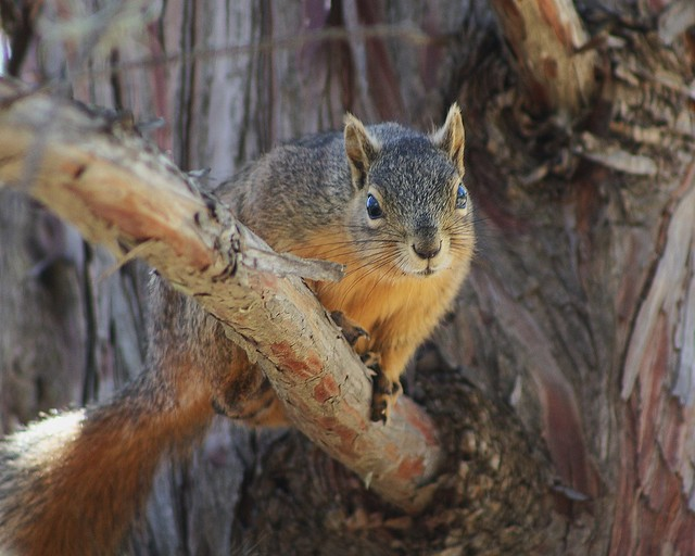 eastern fox squirrel sciurus - photo #9