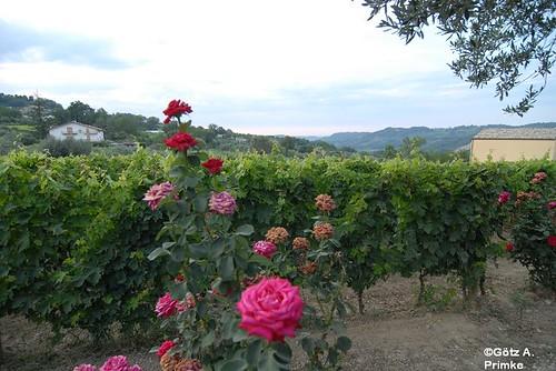 Weingut_Masciarelli_Juli2009_080