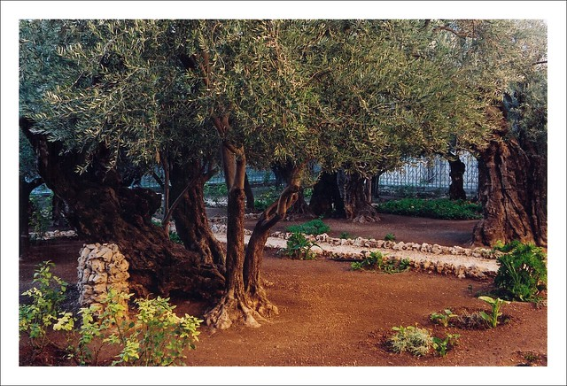 Garden of Gethsemane from Flickr via Wylio