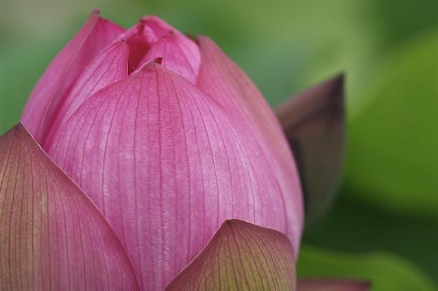 蓮:Lotus