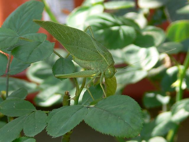Giant Green Leaf Bug! | Flickr - Photo Sharing!