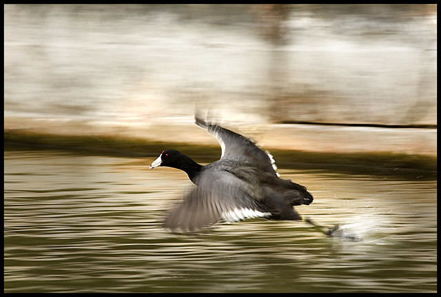 American Coot-wild, Rainbow River, Dunnellon,Florida, by Gema Saiz